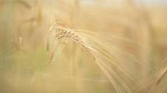 Tenderness ears of corn - stock footage