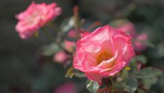 Pink roses in the garden 4K 2160p UHD video - Pink roses outdoor natural 4K 3 Stock Footage