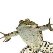 surfacing Frog - stock photo