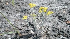 Stock Video Footage of immortelle, yellow medicinal plant, summer environment diversity.