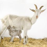 Goat and her kids Stock Photos