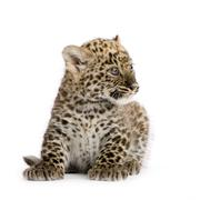 Stock Photo of Persian leopard Cub (2 months)