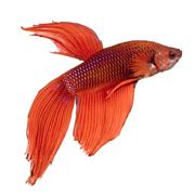Siamese fighting fish - stock photo