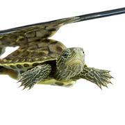 Turtle - OCADIA SINENSIS - stock photo