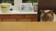 Funny little cat looking under table 4K Stock Footage