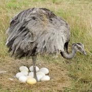 Emu - stock photo