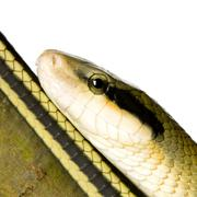 Rat snake - stock photo