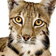 Lynx (2 years) - stock photo