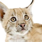 Lynx cub (2 mounths) Stock Photos