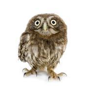 young owl (4 weeks) - stock photo
