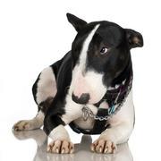 Bull Terrier (2 years) - stock photo