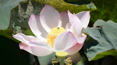 Scenic Lotus Flower Farm in Cambodia with Bee Pollination - stock footage