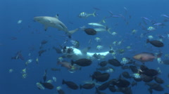 Grey Reef Shark Feed Stock Footage