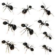 10 Black ants Stock Photos
