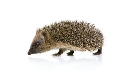 hedgehog (1 mounths) - stock photo