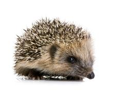 Hedgehog (1 mounths) Stock Photos