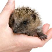 hedgehog (1 mounths) - stock photo