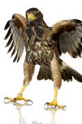 Harris's Hawk Stock Photos