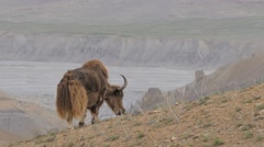 Yak grazing in the mountains,Kibber,Spiti,India Stock Footage