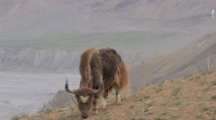 Yak grazing in the mountains,Kibber,Spiti,India - stock footage