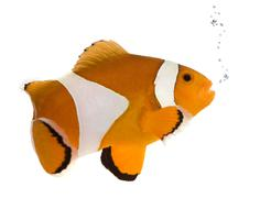 Orange clownfish - Amphiprion occelaris - stock photo