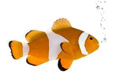 Orange clownfish - Amphiprion occelaris Stock Photos