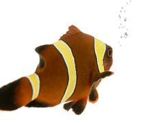 Gold stripe Maroon Clownfish - Premnas biaculeatus - stock photo
