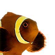Gold stripe Maroon Clownfish - Premnas biaculeatus - stock photo