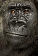 Young Silverback Gorilla - stock photo