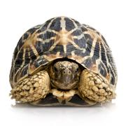 Indian Starred Tortoise - Geochelone elegans Stock Photos