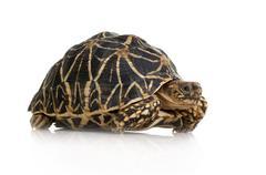 Indian Starred Tortoise - Geochelone elegans - stock photo