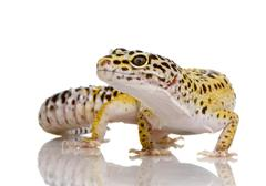 Leopard gecko - Eublepharis macularius - stock photo