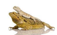 Lawson's dragon - Pogona henrylawsoni - stock photo
