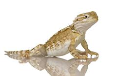 Young Lawson's dragon - Pogona henrylawsoni - stock photo