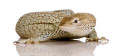 Monitor lizard - Freckled Monitor - Varanus tristis orientalis - stock photo