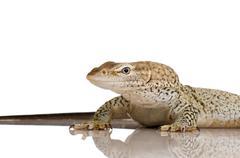 Monitor lizard - Freckled Monitor - Varanus tristis orientalis Stock Photos