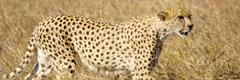 cheetah Masai mara Kenya - stock photo