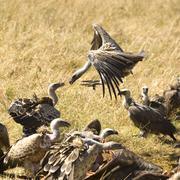 vulture at Masai mara Kenya - stock photo