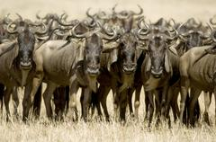 Wildebeest Masai mara Kenya - stock photo
