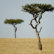 Masai mara - stock photo