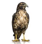 Young Black-chested Buzzard-eagle () - Geranoaetus melanoleucus - stock photo
