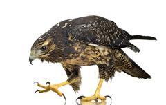 Young Black-chested Buzzard-eagle () - Geranoaetus melanoleucus Stock Photos