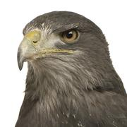 Black-chested Buzzard-eagle () - Geranoaetus melanoleucus - stock photo