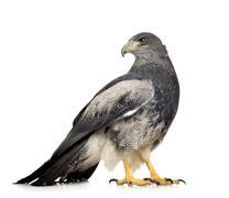 Black-chested Buzzard-eagle - Geranoaetus melanoleucus Stock Photos
