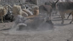 Donkey spins it's back in the dust,Kibber,Spiti,India Stock Footage