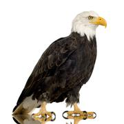 Bald Eagle (22 years) - Haliaeetus leucocephalus Stock Photos