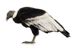 Andean Condor - Vultur gryphus (15 years) - stock photo