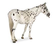 Appaloosa horse Stock Photos