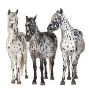 Stock Photo of Appaloosa horse