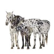 Appaloosa horse - stock photo